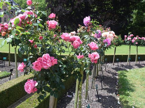 20150621_rose5