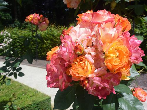20150621_rose9
