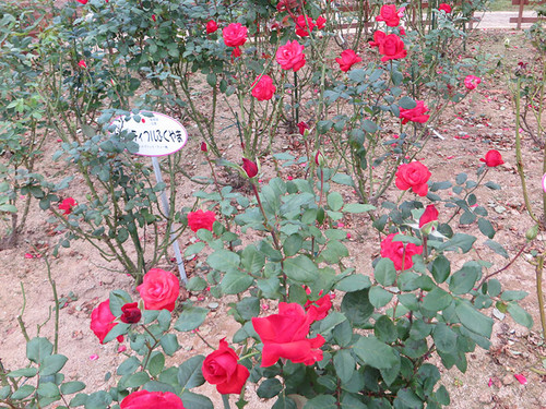 20151011_rose6