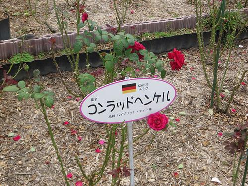 20151011_rose9